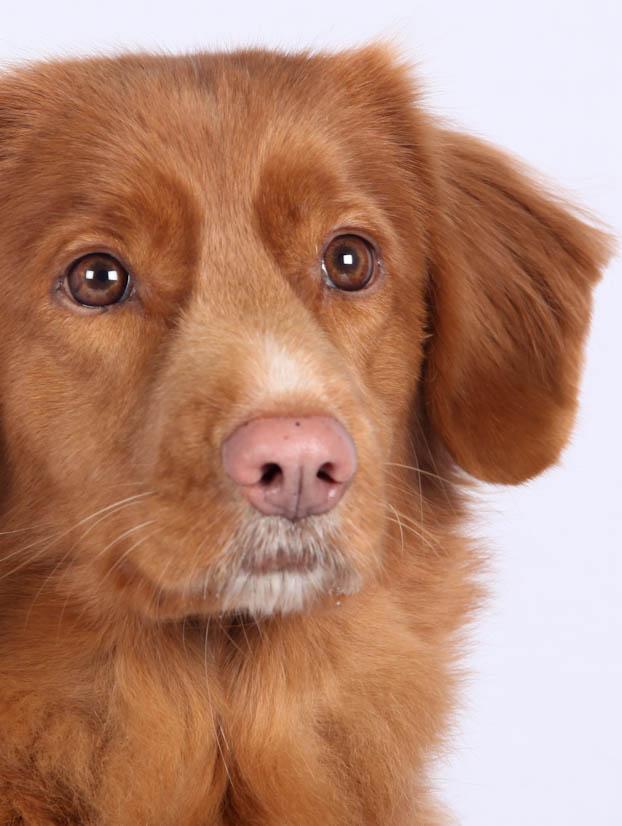 Lupus érythémateux systémique chez le chien - Société Centrale Canine