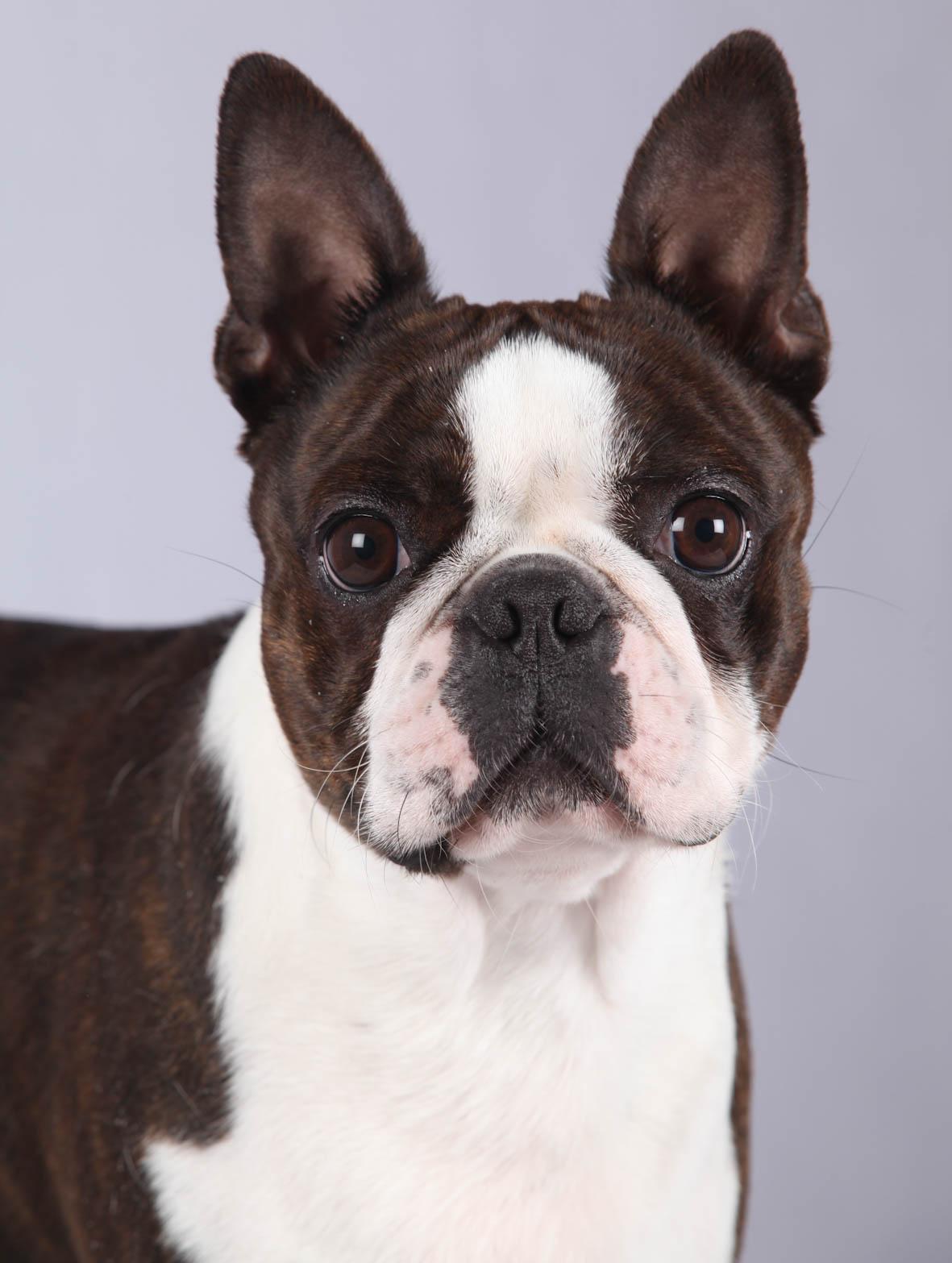 Cataracte Juvénile Chez Le Chien Société Centrale Canine