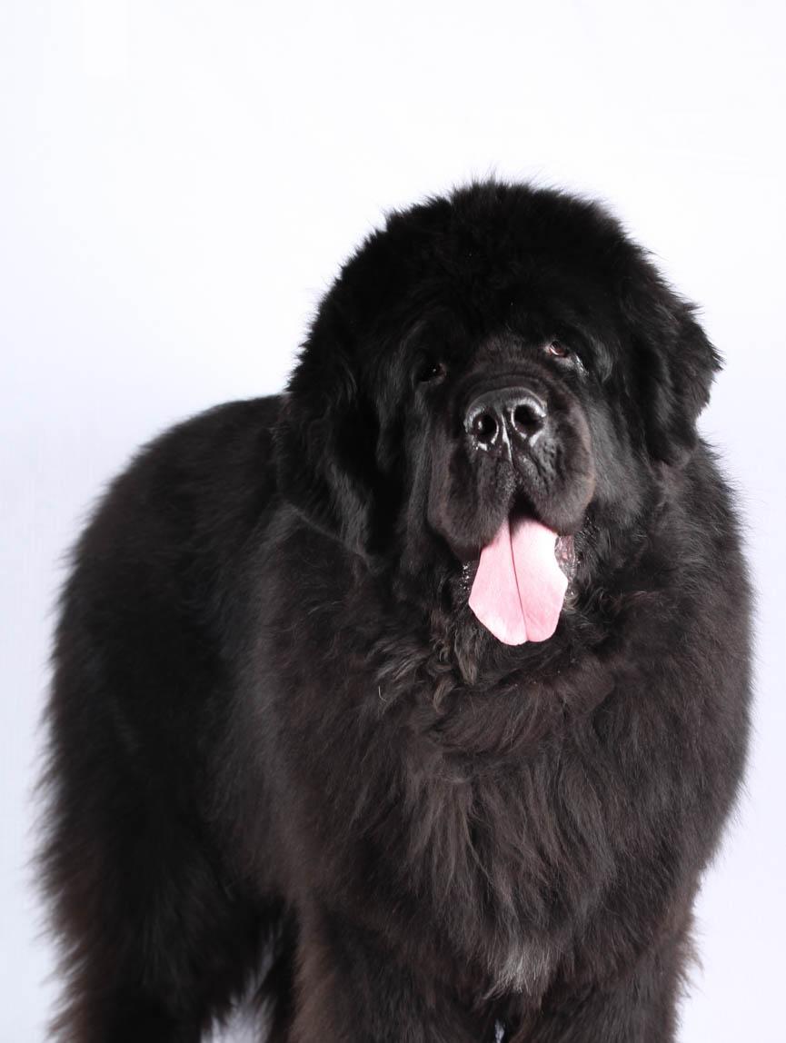 Myasthénie grave chez le chien - Société Centrale Canine