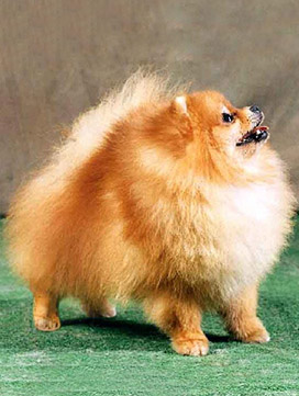 centrale canine spitz